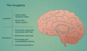 Amygdala Brain